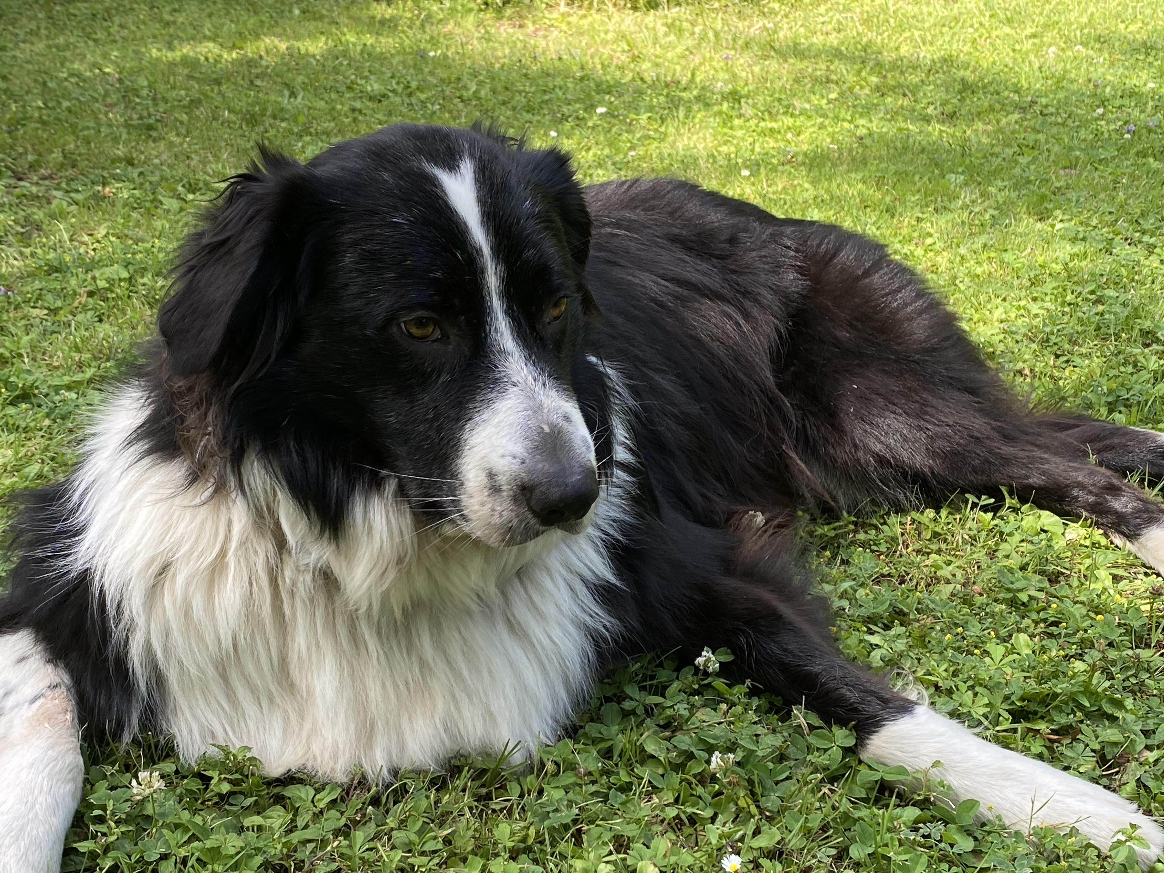chien dans herbe